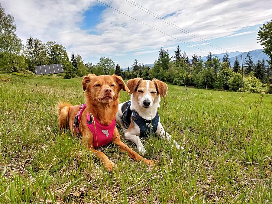psy leżą na górze Wielka Cisowa